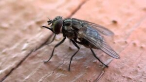 Stable Fly